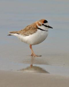 Collared Plover