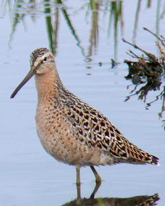 Short-billed Dowitcher (Prairie)