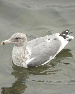 Herring x Glaucous-winged Gull (hybrid)