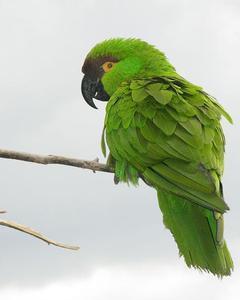 Maroon-fronted Parrot