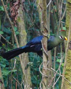 Yellow-billed Turaco