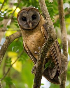 Ashy-faced Owl