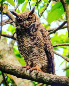 Great Horned Owl (Great Horned)
