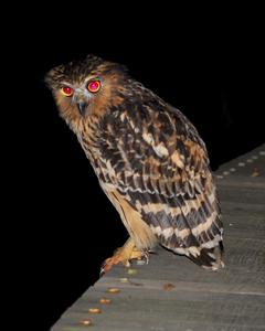Buffy Fish-Owl