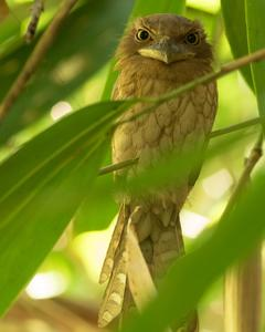 Gould's Frogmouth