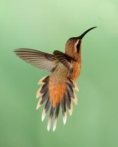 Gray-chinned Hermit