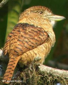 Barred Puffbird