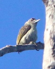 Plain-breasted Piculet