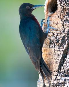 Guadeloupe Woodpecker