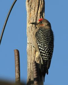 Gray-breasted Woodpecker