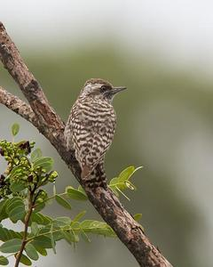 Checkered Woodpecker