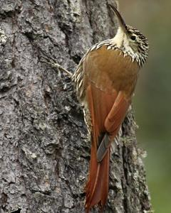 White-striped Woodcreeper