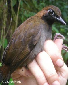 Black-faced Antthrush (Central American)