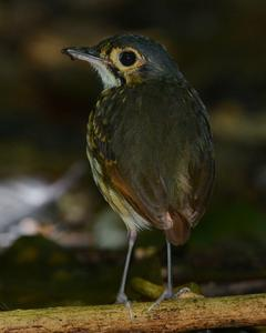 Streak-chested Antpitta (Pacific Slope)