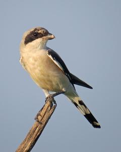 Lesser Gray Shrike