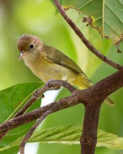 Golden-fronted Greenlet