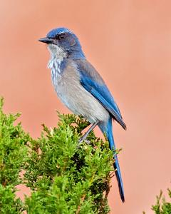 California/Woodhouse's Scrub-Jay
