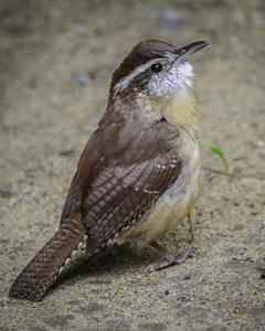 Carolina Wren (Northern)