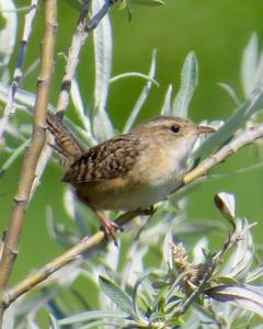 Sedge Wren (Sedge)