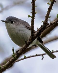 Blue-gray Gnatcatcher (caerulea)