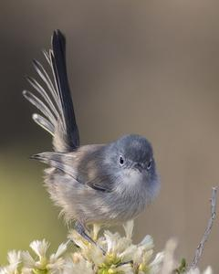 California Gnatcatcher