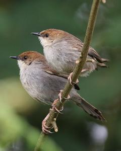 Hunter's Cisticola