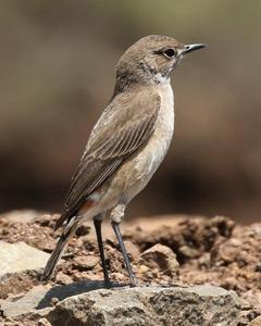 Sicklewing Chat
