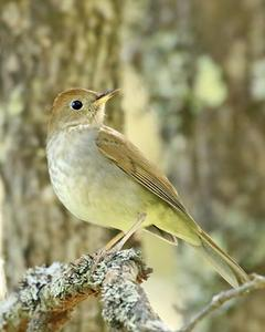 Russet Nightingale-Thrush