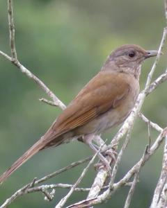 Pale-breasted Thrush