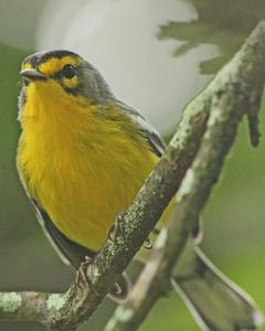 St. Lucia Warbler