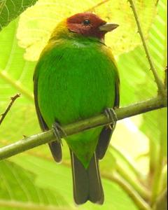 Bay-headed Tanager (Bay-and-green)