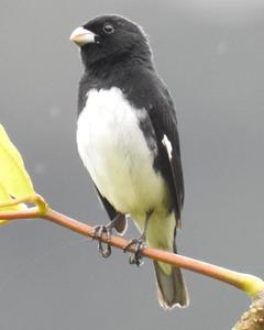 Black-and-white Seedeater
