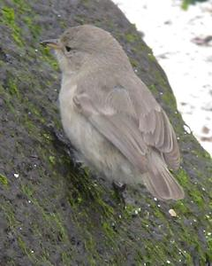 Gray Warbler-Finch