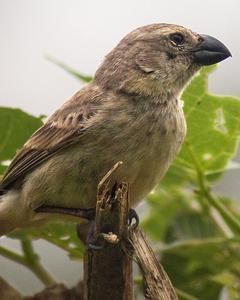 Large Tree-Finch