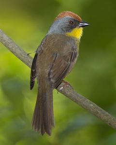 Rufous-capped Brushfinch