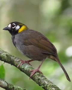 White-eared Ground-Sparrow