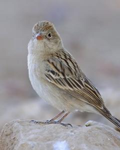 Worthen's Sparrow