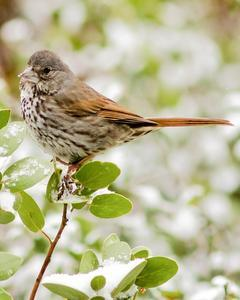 Fox Sparrow (Thick-billed)