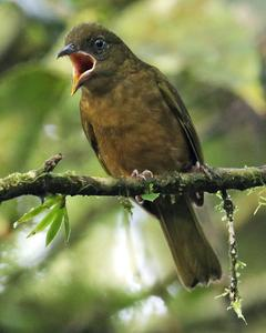 Ochre-breasted Tanager