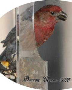 House Finch (Common)