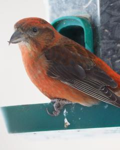 Red Crossbill (Ponderosa Pine or type 2)