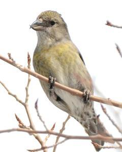 Red Crossbill (Lodgepole Pine or type 5)