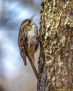Brown Creeper (americana/nigrescens)