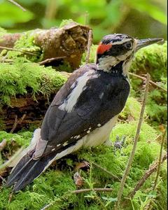 Hairy Woodpecker (Pacific)