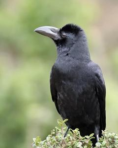 Large-billed Crow (Indian Jungle)