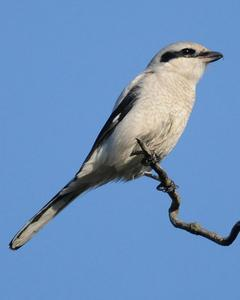 Northern Shrike (American)