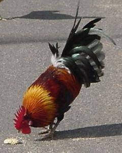 Red Junglefowl (Domestic type)