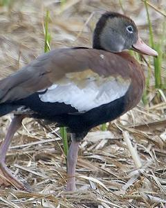Black-bellied Whistling-Duck (Northern)