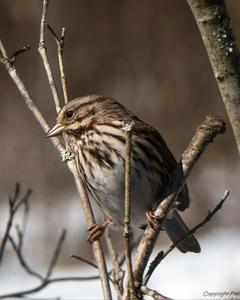 Song Sparrow (melodia/atlantica)