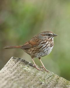 Song Sparrow (rufina Group)